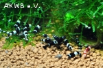 schwarze Taiwan Bee (Panda, King Kong)