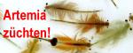 Artemia franciscana züchten
